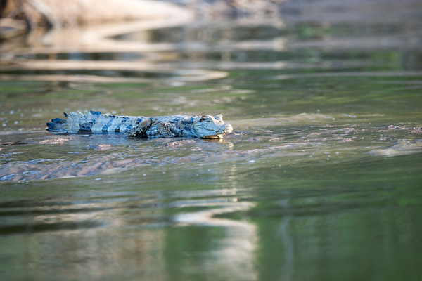 Spectacled caiman (Caiman crocodilus).  We saw many of this species, ranging from 50cm to 2m in length.