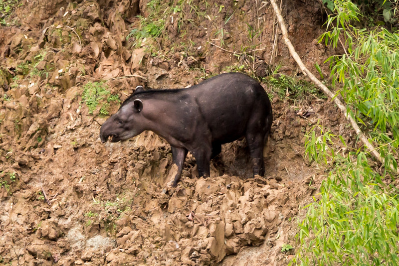 South American tapir (Tapirus terrestris), the largest animal in the rainforest, and endangered.
