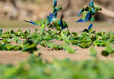 Cobalt-winged Parakeets (Brotogeris cyanoptera) at a clay lick.