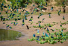 Cobalt-winged Parakeets (Brotogeris cyanoptera) at a clay lick.