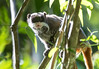 Emperor tamarin (Saguinus imperator), a species of tamarin allegedly named for its resemblance to the German emperor Wilhelm II