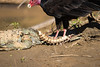Turkey Vulture (Cathartes aura) feeds on a caiman carcass, flies laying eggs.