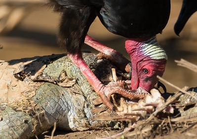 Turkey Vulture (Cathartes aura) feeds on a caiman carcass