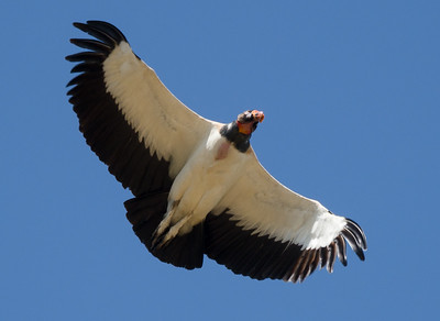 """King vulture (Sarcoramphus papa), known as the """"Condor of the Amazon."""""""