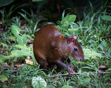 Agouti, Dasyprocta kalinowskii, threatened.  A rodent, related to guinea pig.