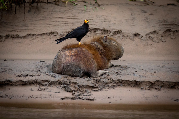 "Capybara (Hydrochoerus hydrochaeris), the world's largest rodent, getting groomed by a ""caracara"" bird."