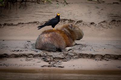 "Capybara (Hydrochoerus hydrochaeris), the world's largest rodent, getting groomed by a ""caracara"" bird."