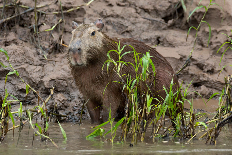 Capybara (Hydrochoerus hydrochaeris), the world's largest rodent.