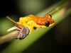 A tree frog, unknown species.
