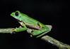 Green tree frog (Litoria caerulea).