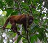 Red howler monkey (Alouatta sara).
