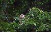 White-faced capuchin monkey (Cebus capucinus), very rare.