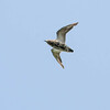 Goudplevier - Golden Plover