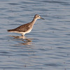 Witgat - Green Sandpiper