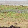 Aziatische Goudplevier - Pacific Golden Plover