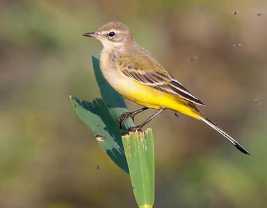 Gele Kwikstaart - Yellow Wagtail
