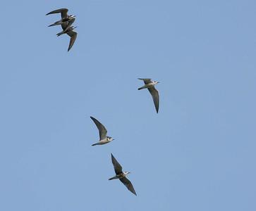 Zwarte Stern - Black Tern