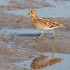 Watersnip - Common Snipe