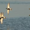 Golden Plover - Goudplevier