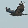 Carrion Crow - Zwarte Kraai