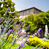 Lavender flowers in the main square of the town of Manziana, Tuscia Romana region, Rome
