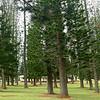 Norfolk Pines.
