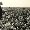Dole planted 20,000 acres of pineapple on the island (Wiki).