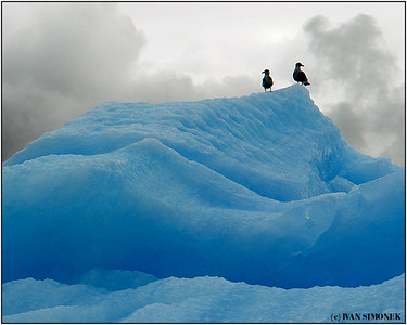 """BLUE MOUNTAIN"", two gulls on an iceberg, LeConte Bay, Alaska, USA."