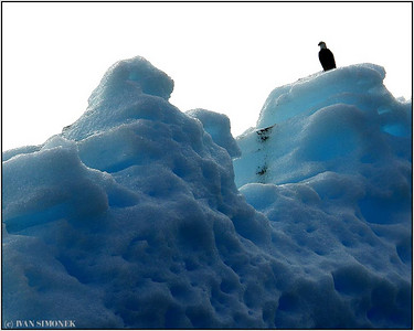 """SENTRY"", a Bald eagle and iceberg, LeConte bay, Alaska, USA."