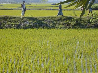 rice_paddy_3