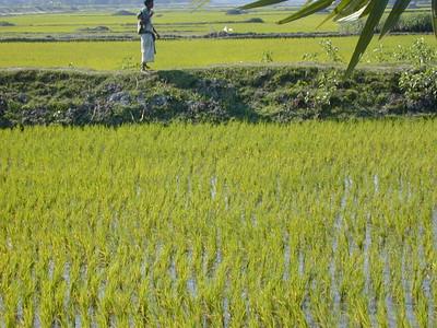 rice_paddy_4