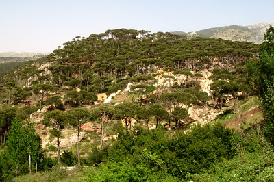Mountain view of a cluster of pine trees on Jebal Lebnan, Lebanon