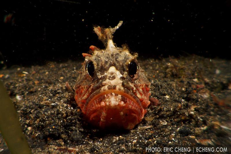 Whitespace waspfish (Richardsonichthys leucogaster). Lembeh Strait, Indonesia. echeng100306_0253697