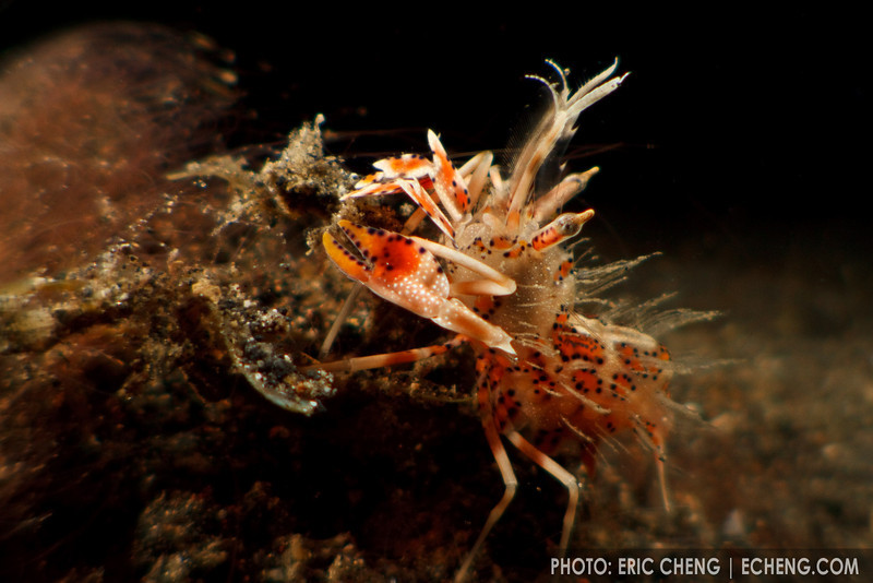 Tiger shrimp (Palaemon pacificus). Lembeh Strait, Indonesia. echeng100303_0252207