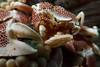 Spotted porcelain crab (Neopetrolisthes maculata) on a Haddon's sea anemone (Stichodactyola haddoni). Lembeh Strait, Indonesia. echeng100306_0253591