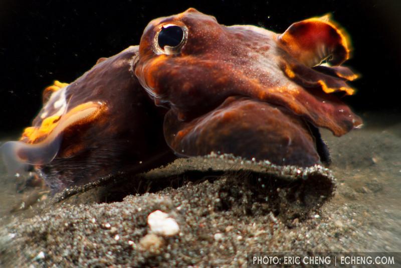 A flamboyant cuttlefish (Metasepia pfefferi). Lembeh Strait, Indonesia. echeng100303_0252362