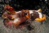 A flamboyant cuttlefish (Metasepia pfefferi). Lembeh Strait, Indonesia. echeng100303_0252358