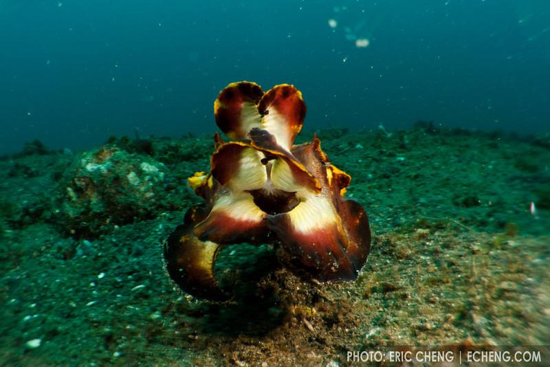 Flamboyant cuttlefish (Metasepia pfefferi). Lembeh Strait, Indonesia. echeng100307_0253932