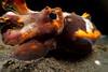 A flamboyant cuttlefish (Metasepia pfefferi). Lembeh Strait, Indonesia. echeng100303_0252359