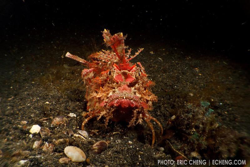 A devil scorpionfish (Inimicus didactylus), AKA spiny devilfish. Lembeh Strait, Indonesia. echeng100306_0253690