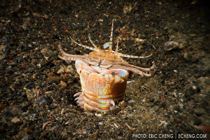 Bobbit worm: a fanged nightmare that lives in the sand (Eunice aphroditois). Lembeh Strait, Indonesia. echeng100304_0252965