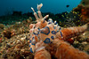 Harlequin shrimp (Hymenocera elegans) eating a sea star. Lembeh Strait, Indonesia. echeng100306_0253374