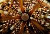 Detail from a sea urchin (Echinothrix calamaris). Lembeh Strait, Indonesia. echeng100304_0252716