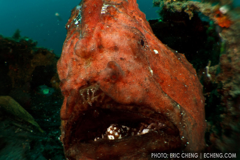 An unusual perspective of a giant frogfish (Antennarius commersoni). Lembeh Strait, Indonesia. echeng100307_0253983