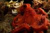 Starry night octopus (Octopus luteus). Lembeh Strait, Indonesia. echeng100303_0252312