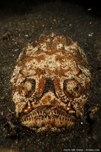 A stargazer (Uranoscopus chinensis) lies in ambush, waiting for passing fish. Lembeh Strait, Indonesia. echeng100303_0252284