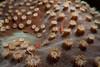 Many host gobies (Pleurosicya mossambica) rest on hard coral. Lembeh Strait, Indonesia. echeng100304_0252645