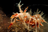 Tiger shrimp (Palaemon pacificus). Lembeh Strait, Indonesia. echeng100303_0252222