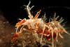 Tiger shrimp (Palaemon pacificus). Lembeh Strait, Indonesia. echeng100303_0252222