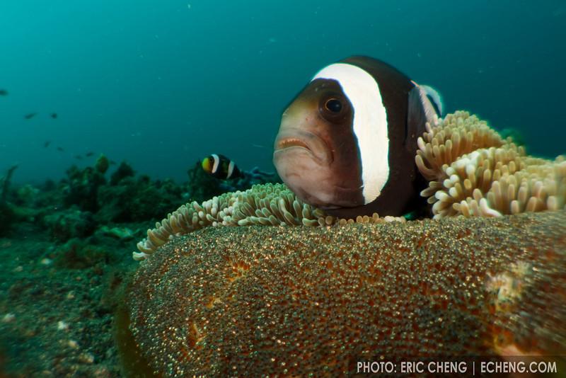 Panda anemonefish (Amphiprion polymus) and eggs on a Haddon's sea anemone (Stichodactyla haddoni). Lembeh Strait, Indonesia. echeng100304_0252532